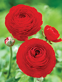 Ranunculus Red