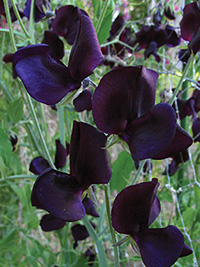 Sweet Pea Almost Black