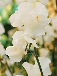 Sweet Pea Solstice White
