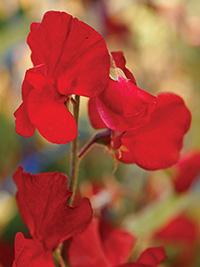 Sweet Pea Solstice Crimson
