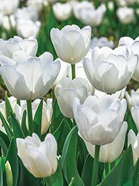 Tulip Antarctica