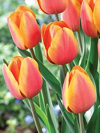 Tulip Asahi