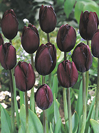 Tulip Black Diamond