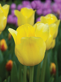 Tulip Bolroy Honey