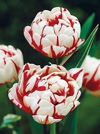 Tulip Carnival de Nice