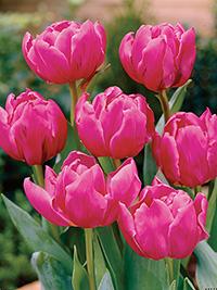 Tulip Double Princess