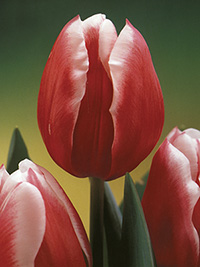 Tulip Debutante