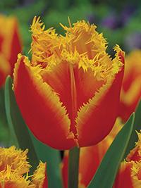 Tulip Fabio