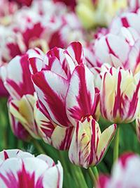 Tulip Flaming Kiss