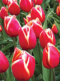 Tulip Karlijn