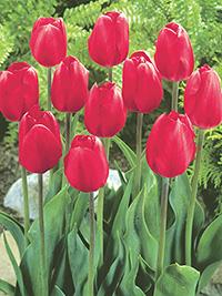 Tulip London