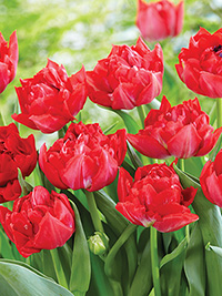 Tulip Magic Price