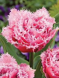 Tulip Mascotte