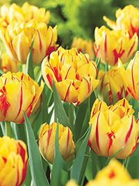 Tulip Monsella