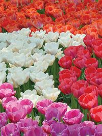 Tulip October Special