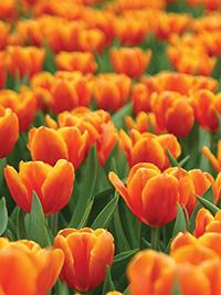 Tulip October Special ORANGE