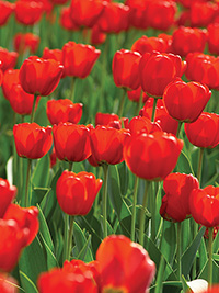 Tulip October Special RED