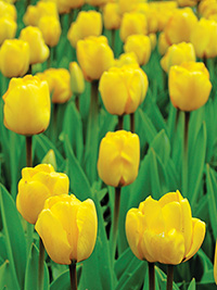 Tulip October Special YELLOW