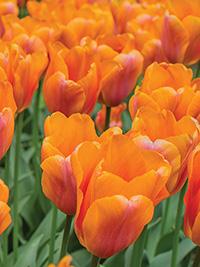 Tulip Orange Babies