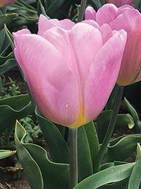 Tulip Piet Veerman