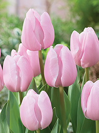 Tulip Pink Diamond