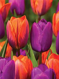 Tulip Knockout Singles