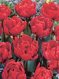 Tulip Red Princess