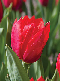 Tulip Red Rover