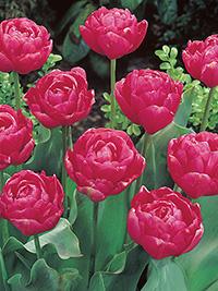 Tulip Renown Unique