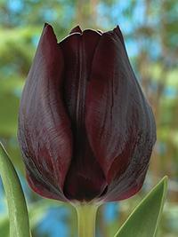 Tulip Ronaldo