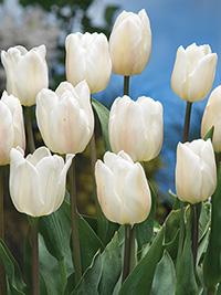 Tulip Snowboard