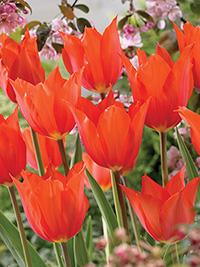 Tulip Temples Favourite