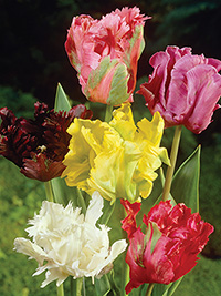 Parrot Tulip Collection - 5 bulbs each of 3 varieties