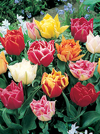 Peony Tulip Collection - 5 bulbs each of 5 varieties
