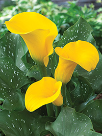 Zantedeschia Gold Finger