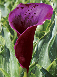 Zantedeschia Shiraz ® - PACK OF 3