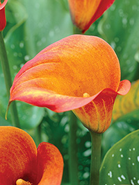 Zantedeschia Treasure