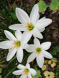 Zephyranthes candida - Rain Lily